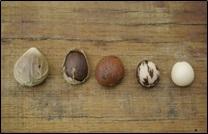tagua, graine d'ivoire végétale
