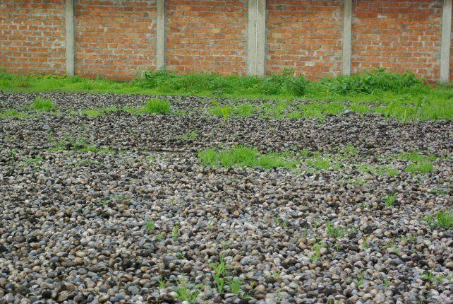 Noix de tagua qui sèchent